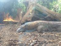 A Komodo dragon, London Zoo