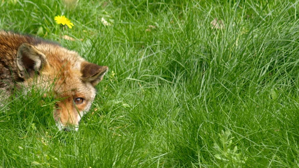 Fox With Nose Buried in the Grass