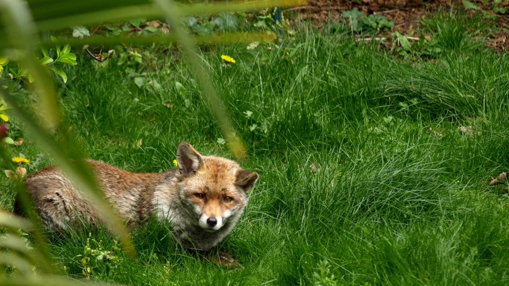 Fox Laying on Grass in a Garden