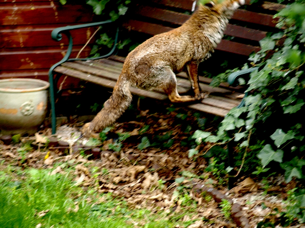 Fox Jumping onto a Bench