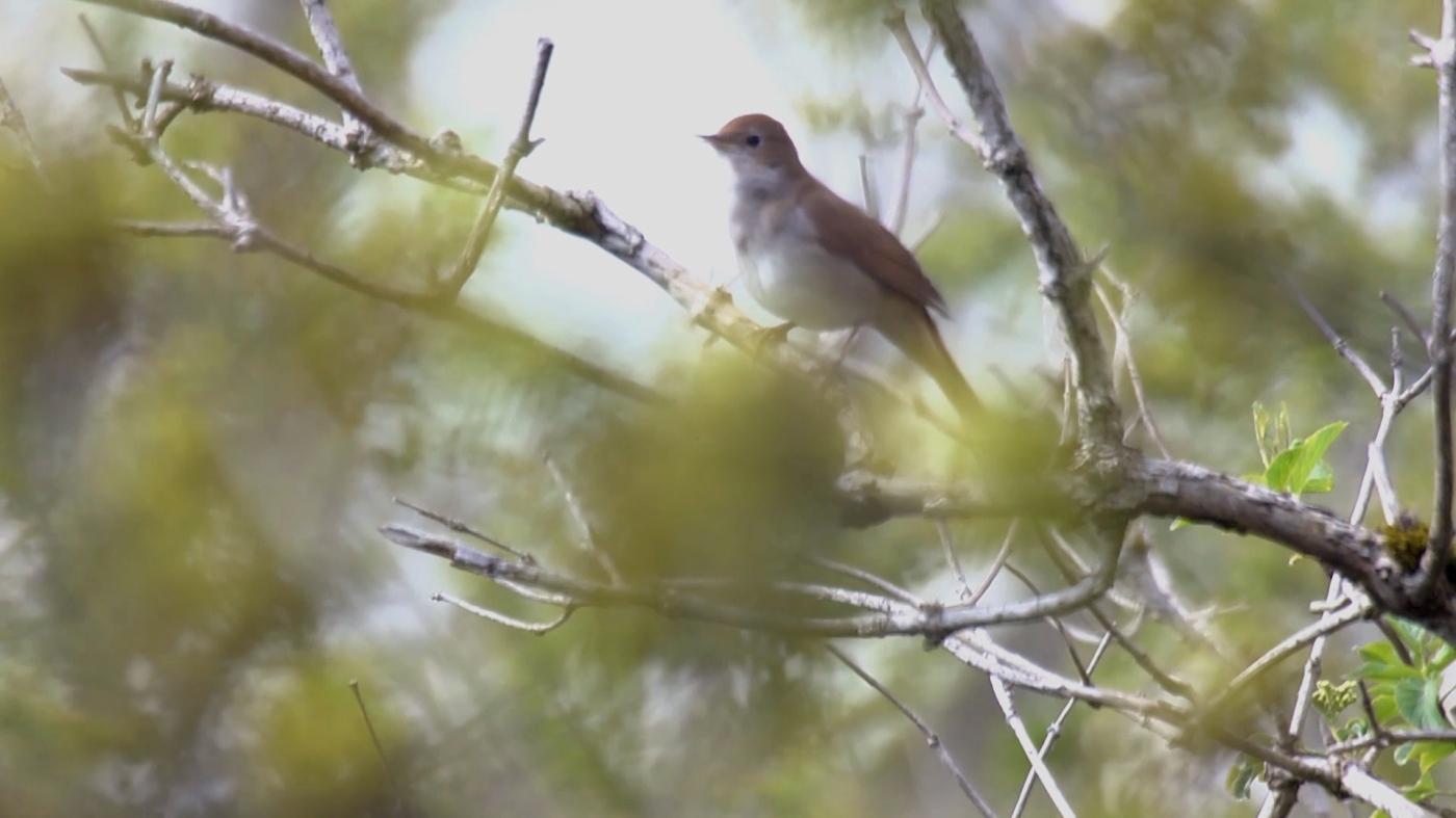 Nightingale - Mat Larkin - Eden Shorts 2015